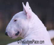 "Ch. O'BJ Master Of Disaster ""Bo"", owner handled Miniature Bull Terrier who always caught the judge's eye but could not win in Groups due to undershot mouth."